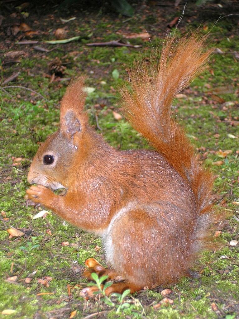Fressendes Eichhörnchen